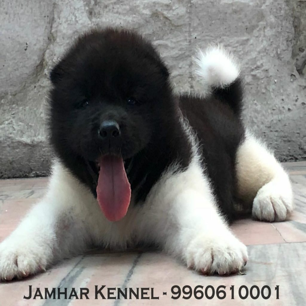 Akita Puppy For Sale Dog Breeder in Wakad PCMC Pune 1024x1024 - Pet Shop / Store, Dog n Cat Breeder in Kothrud, Deccan – Jamhar Kennel