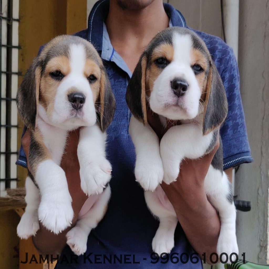 Healthy Beagle Puppies For Sale Dog Breeder in Wakad PCMC Pune 1024x1024 - Pet Shop / Store, Dog n Cat Breeder in Kothrud, Deccan – Jamhar Kennel