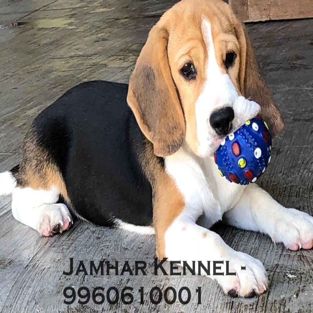 Healthy Beagle Puppy For Sale Dog Breeder in Wakad PCMC Pune 2 1024x1024 - Pet Shop / Store, Dog n Cat Breeder in Kothrud, Deccan – Jamhar Kennel