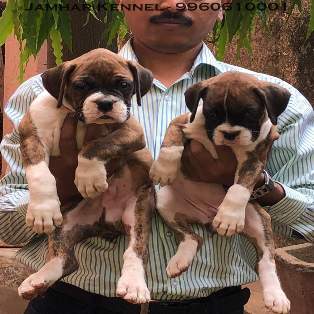 Healthy Boxer Puppies For Sale Dog Breeder in Wakad PCMC Pune 1024x1024 - Pet Shop / Store, Dog n Cat Breeder in Kothrud, Deccan – Jamhar Kennel