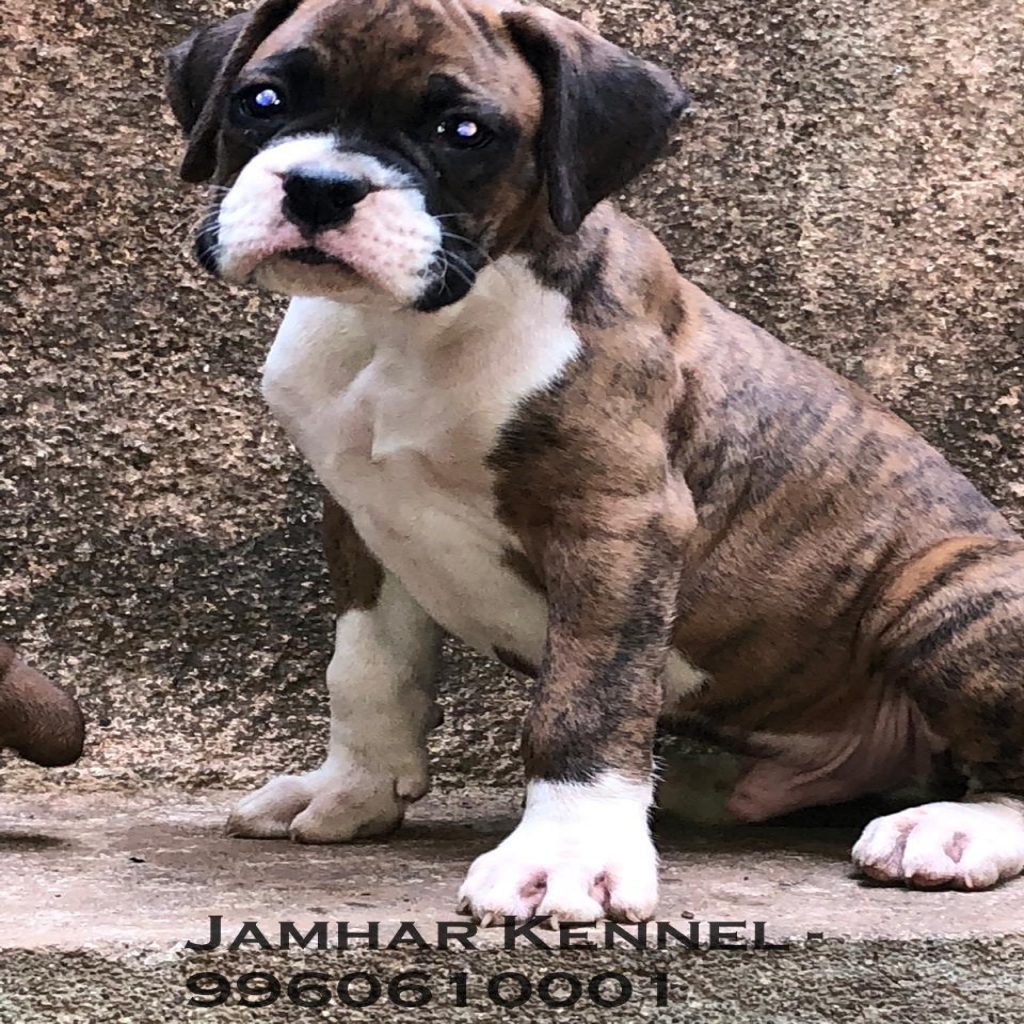 Healthy Boxer Puppy For Sale Dog Breeder in Wakad PCMC Pune 1024x1024 - Pet Shop / Store, Dog n Cat Breeder in Kothrud, Deccan – Jamhar Kennel