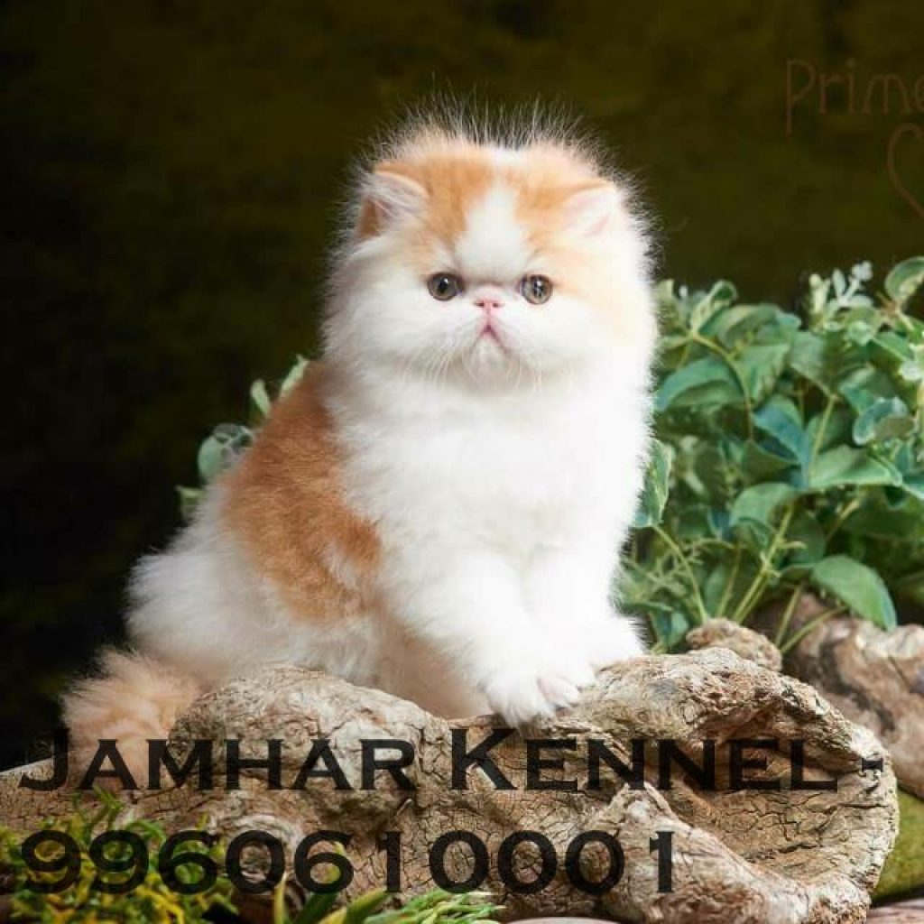 Persian Kitten for Sale in Wakad Pune Pet Shop Cat Breeder in Wakad PCMC 1024x1024 - Pet Shop / Store, Dog n Cat Breeder in Kothrud, Deccan – Jamhar Kennel