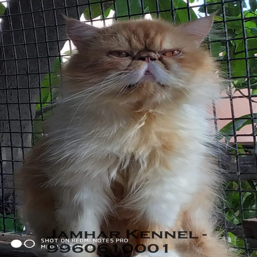 Punch Face Persian Kitten for Sale in Wakad Pune Pet Shop Cat Breeder in Wakad PCMC 2 1024x1024 - Pet Shop / Store, Dog n Cat Breeder in Kothrud, Deccan – Jamhar Kennel