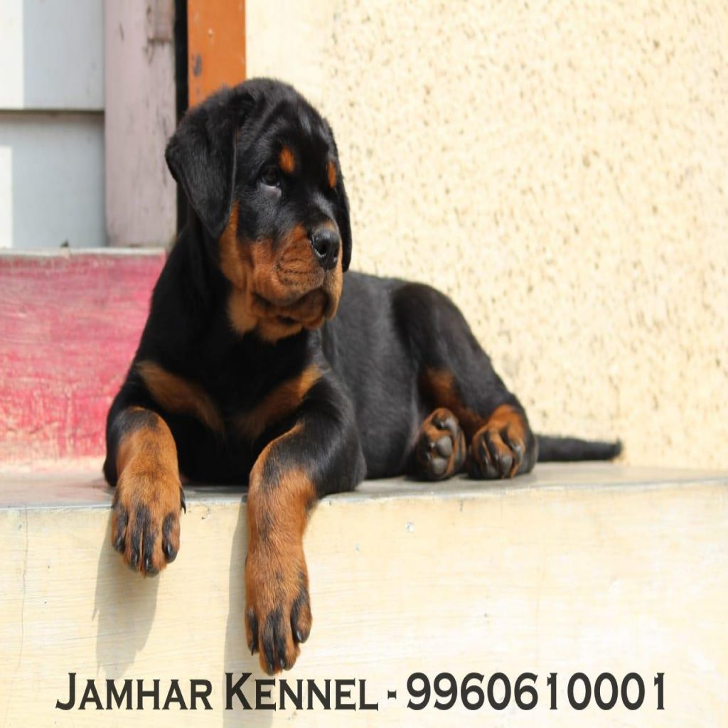 Rottweiler Puppy For Sale Dog Breeder in Wakad PCMC Pune 1024x1024 - Pet Shop / Store, Dog n Cat Breeder in Kothrud, Deccan – Jamhar Kennel