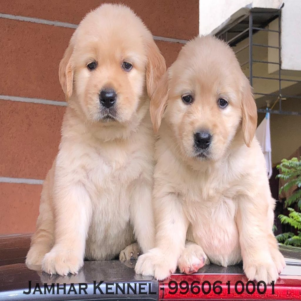 Show Quality Golden Retriever Puppies for Sale in Wakad Pune Pet Shop Dog Breeder in Wakad PCMC 1024x1024 - Pet Shop / Store, Dog n Cat Breeder in Kothrud, Deccan – Jamhar Kennel