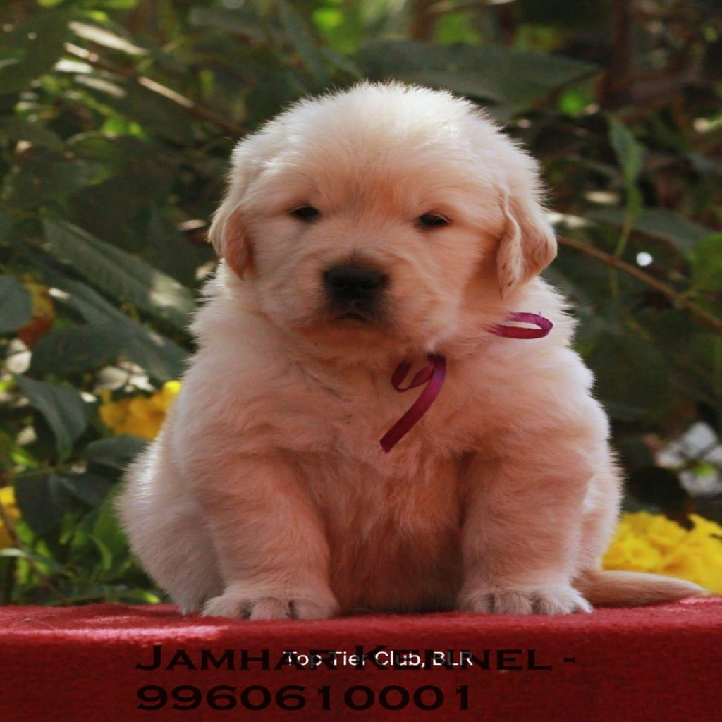 Show Quality Golden Retriever Puppy for Sale in Wakad Pune Pet Shop Dog Breeder in Wakad PCMC 7 1024x1024 - Pet Shop / Store, Dog n Cat Breeder in Kothrud, Deccan – Jamhar Kennel