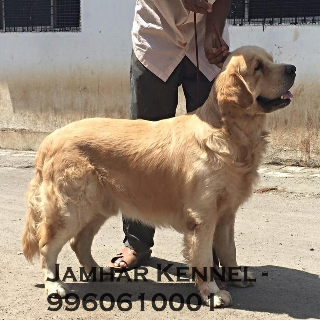 Show Quality Golden Retriever for Sale in Wakad Pune Pet Shop Dog Breeder in Wakad PCMC 1024x1024 - Pet Shop / Store, Dog n Cat Breeder in Kothrud, Deccan – Jamhar Kennel