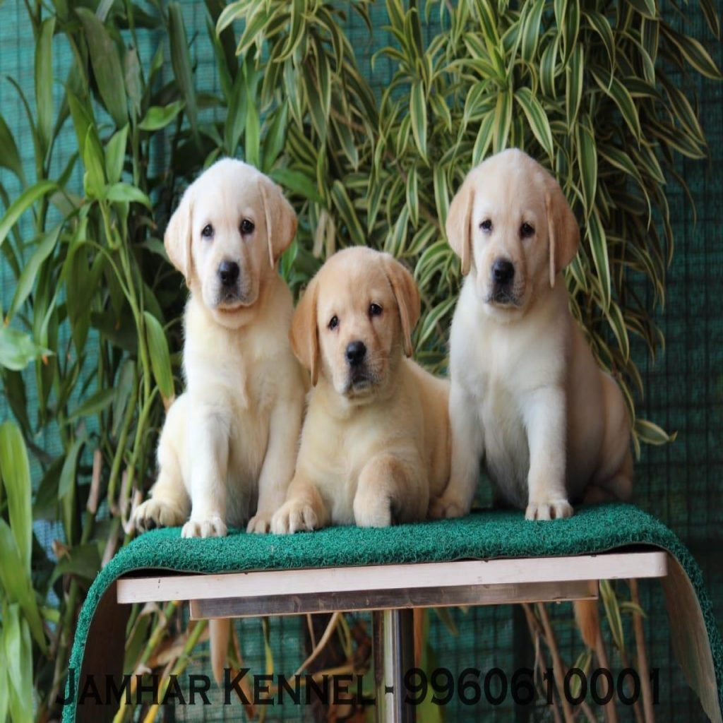 Show Quality Labrador Puppies for Sale in Wakad Pune Pet Shop Dog Breeder in Wakad PCMC 1024x1024 - Pet Shop / Store, Dog n Cat Breeder in Kothrud, Deccan – Jamhar Kennel